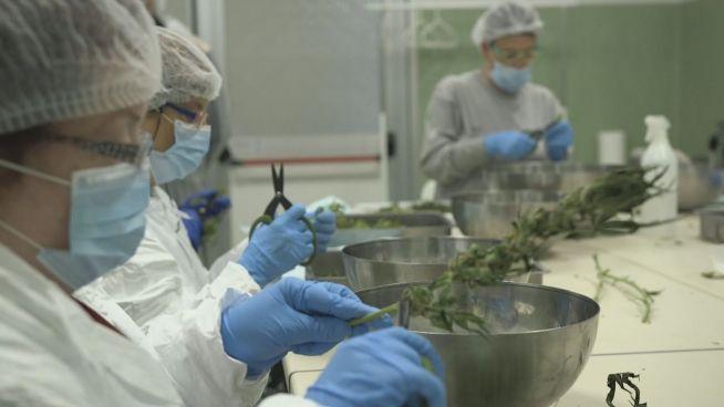 Kein Scherz: Italiens Militär fährt Marihuana-Ernte ein