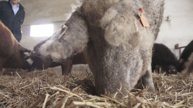 Schafschwein: Früher selten, heute Schinken