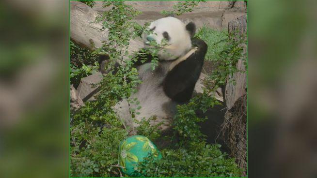 Die knuffigen Pandas: Warum sind sie schwarz-weiß?