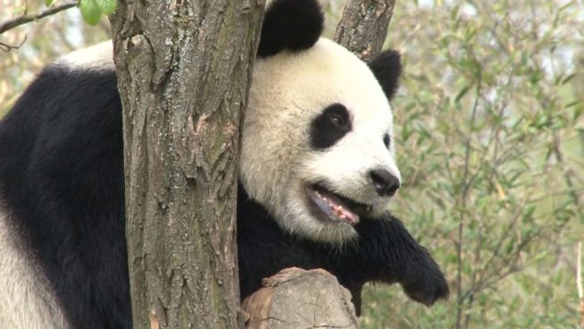 Tierische Neuigkeiten: Pandas sterben nicht aus